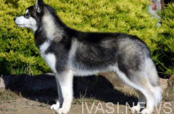 хаски собака одесса екатериненская