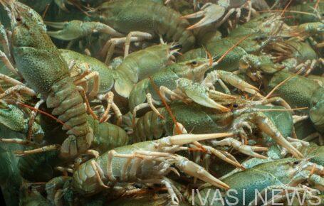 В озерах Одесского региона разрешили ловить раков